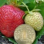 Клубника — это высокоурожайное и достаточно неприхотливое растение