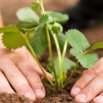 Преимущество технологии Фриго (Frigo) и традиционный опыт при закладке плантаций