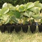 Агротехника выращивания земляники садовой
