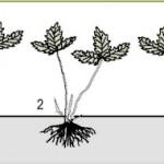 Способы выращивания земляники